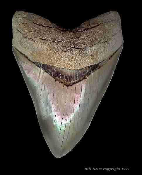 isurus hastalis größe